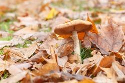 A beautiful fragrant autumn honey agaric has grown among fallen leaves and green grass. Closeup of an edible mushroom.