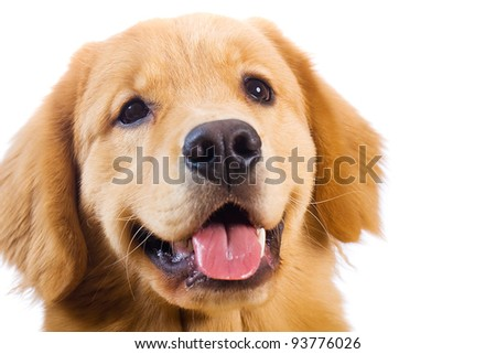 A beautiful, friendly Golden Retriever dog with a happy expression on his face.