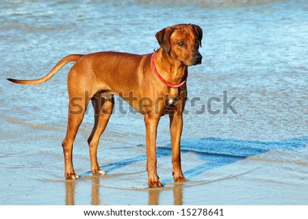 A beautiful full body of a male Rhodesian Ridgeback hound dog with alert expression in the face standing in the water of the sea watching other dogs on the beach outdoors
