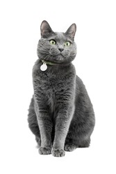 A beautiful funny gray cat in a collar is sitting and looking to the side. The background is white, isolated.