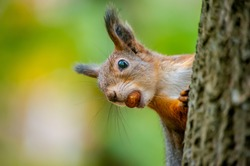 A beautiful funny squirrel on a tree holds a nut in its teeth on a blurry background