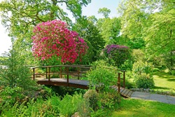 A beautiful garden and bridge over a stream in summer with flowering pink Rhododendron tree, also known as a Cornish Rose,  in Cornwall, England, United Kingdom
