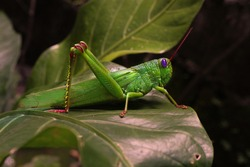 a beautiful giant green grasshopper on a leaf