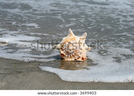A beautiful giant sea shell at a beach