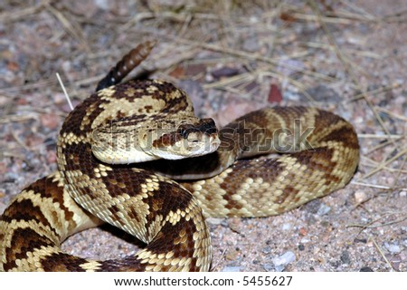 A beautiful golden colored blacktail rattlesnake is coiled in a defensive strike position.