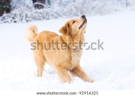 A beautiful Golden Retriever dog playing outside in white snow.