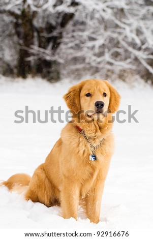 A beautiful Golden Retriever playing outside in cold winter snow.