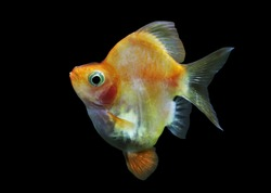 A beautiful golden short body tiger barb (Sumatra barb) on isolated black background. Puntigrus tetrazona is tropical freshwater fish, cyprinid fish.