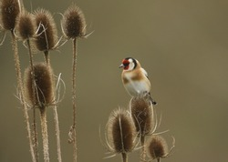 A beautiful Goldfinch, Carduelis carduelis, perching on a Teasel.  It has been eating the plants seeds.