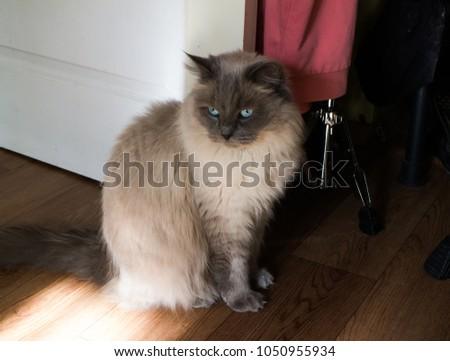 A beautiful gray cat #1050955934