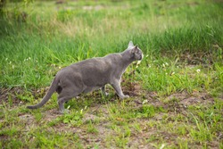A beautiful gray cat went hunting. Green grass, sunny day, wary cat. Green background, brown land. Kitten is looking for birds.