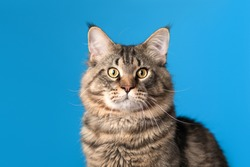 A beautiful gray Maine Coon cat is looking at the camera. Closeup portrait on a bright blue background for articles and advertising.