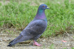 A beautiful gray wild pigeon sit in rural grass field. it has multi colour feather, wings & it has also red eyes. Pigeons are considered to be one of the most intelligent birds  on the planet.