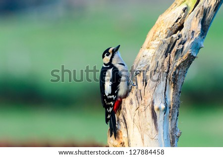 A Beautiful Greater Spotted Woodpecker sat on an old tree trunk