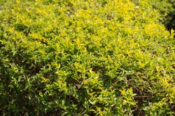 A beautiful green hedgerow with numerous small leaves perfect for the design.