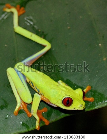 A beautiful green Red-eyed Treefrog, Agalychnis callidryas, ready to jump