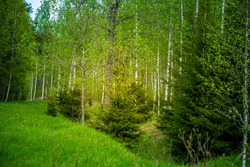 A beautiful, green scenery of a roadside ditch with birch and spruce trees groving. Fresh spring leaves in the soft, diffused morning light. Springtime landscape of Northern Europe.