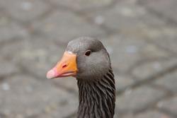 A beautiful Grey Gander Goose