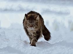 A beautiful grey shaggy tabby cat walks through the newly fallen snow