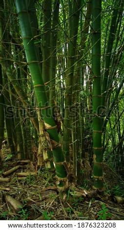 a beautiful grove of Bambusa vulgaris trees Zdjęcia stock ©