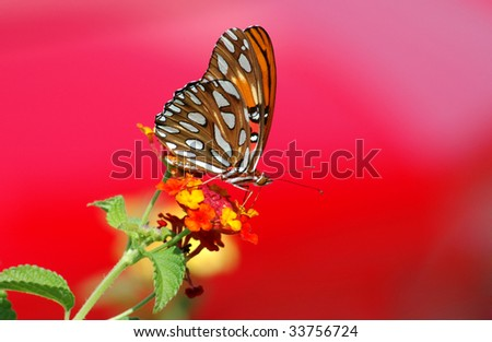 A beautiful Gulf Fritillary Butterfly feeding on a Lantana flower with red background, horizontal with copy space