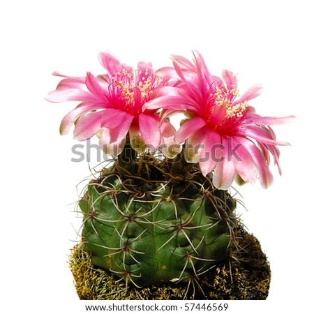 a beautiful gymnocalycium cactus flower isolated on white