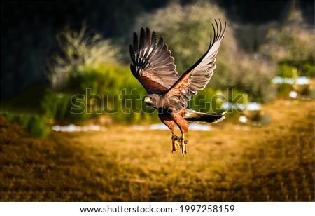 A beautiful hawk in flight. Hawk flight. Hawk in anture scene. Flight hawk Сток-фото ©