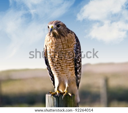 A beautiful hawk sitting on a fence post at a pasture looking for prey.