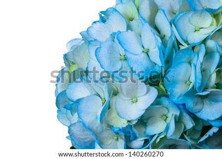 A beautiful high resolution blue hydrangea isolated on a white background