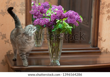 A beautiful, homemade cat sniffs a lilac in a vase on the dresser. Which stands on against the mirror #1396564286