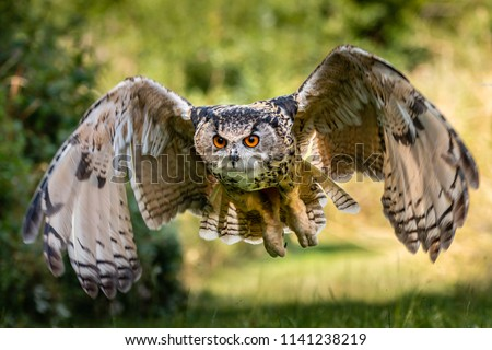 A beautiful, huge European Eagle Owl flying low over fields and trees