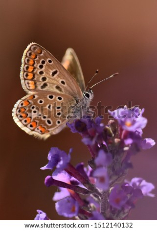 A beautiful image of a butterfly (polyommatus icarus) on Buddleja flowers. Has a wingspan of 28–36 millimetres (1.1–1.4 in). The dorsal side of the wings is an iridescent lilac blue with a thin black. #1512140132