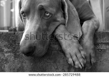 A beautiful image of a male weimaraner posing on the stoep #285729488