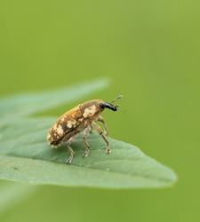 a beautiful image of a small species of bug called weevil