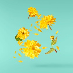 A beautiful image of sping yellow dandelion flowers flying in the air on the pastel turquoise background. Levitation conception. Hugh resolution image