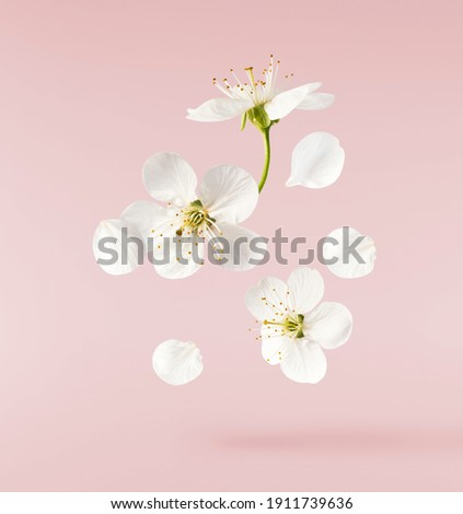A beautiful image of spring white cherry flowers flying in the air on the pastel pink background. Levitation conception. High resolution image