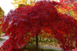 A beautiful Japanese red maple tree on a sunny autumn day