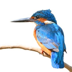 A beautiful Kingfisher bird, male Common Kingfisher (Alcedo athis), perching on a branch, white background