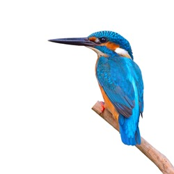 A beautiful Kingfisher bird, male of Common Kingfisher (Alcedo athis) sitting on a branch, back profile