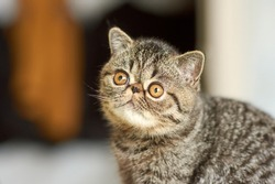 A beautiful kitten of the exotic shorthair breed lies on the brown background of the house. Color striped brown