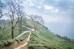 A beautiful landscape from Darjeeling Tea Estate on a cloudy day