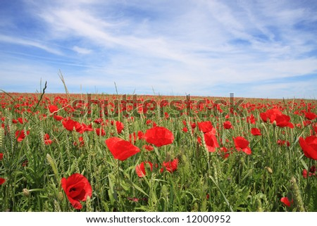 A beautiful landscape with red poppy on a wheat field