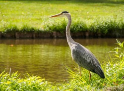 A beautiful large gray heron (Ardea cinerea) bird on the canal bank in green grass on a bright sunny day in the Dutch town of Vlaardingen (Rotterdam, Netherlands, Holland)