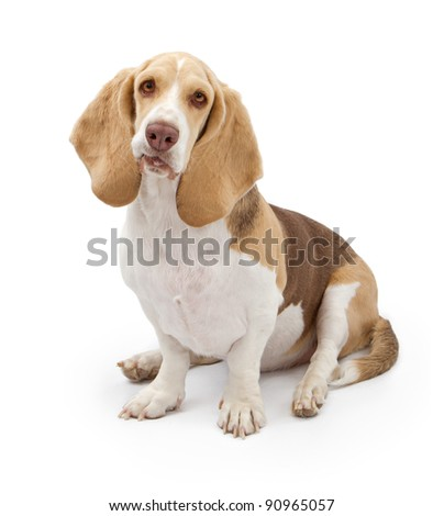 A beautiful light colored Basset Hound dog isolate on white