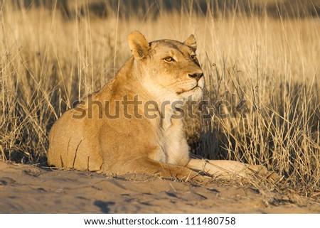 A beautiful lioness in golden Kalahari light