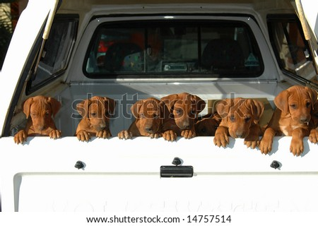 A beautiful litter of African Rhodesian Ridgeback hound dog puppies with cute expression in the faces standing in a pickup car and watching other dogs in the backyard outdoors