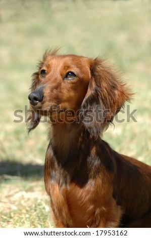 beautiful little brown long haired miniature Dachshund dog
