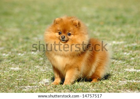 A beautiful little red Pomeranian dog with cute expression in the face sitting on the lawn and watching other dogs in the park outdoors