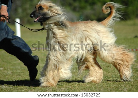 A beautiful long haired Afghan hound dog running with the owner in the park