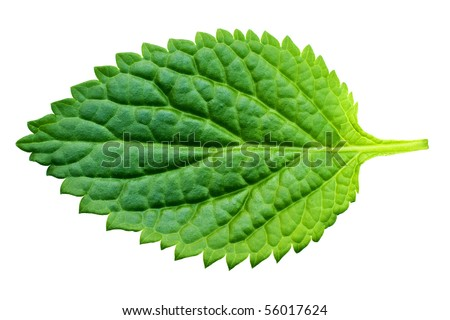 A beautiful lush green leaf. Isolated over white with clipping path.